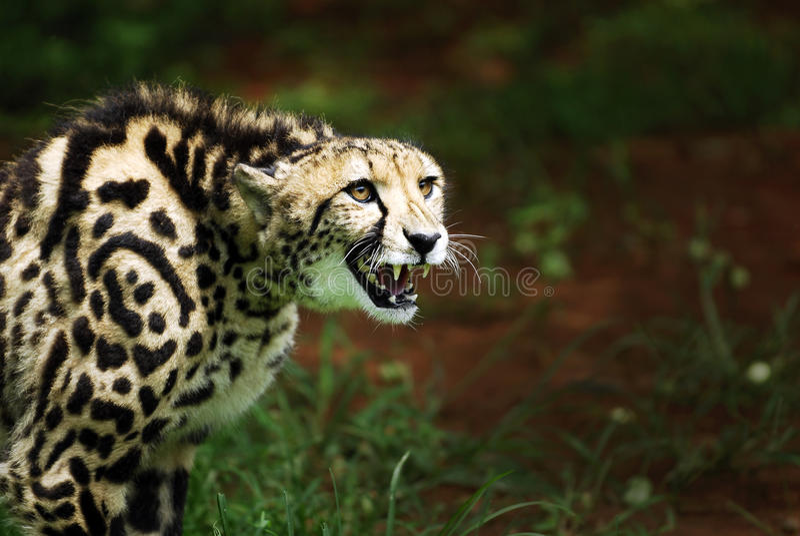 Rey que ataca Cheetah imagen de archivo libre de regalías