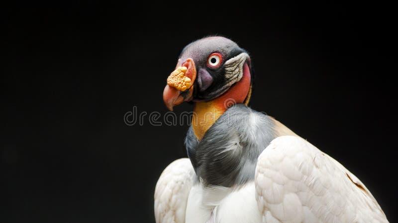 Rey Vulture fotos de archivo libres de regalías