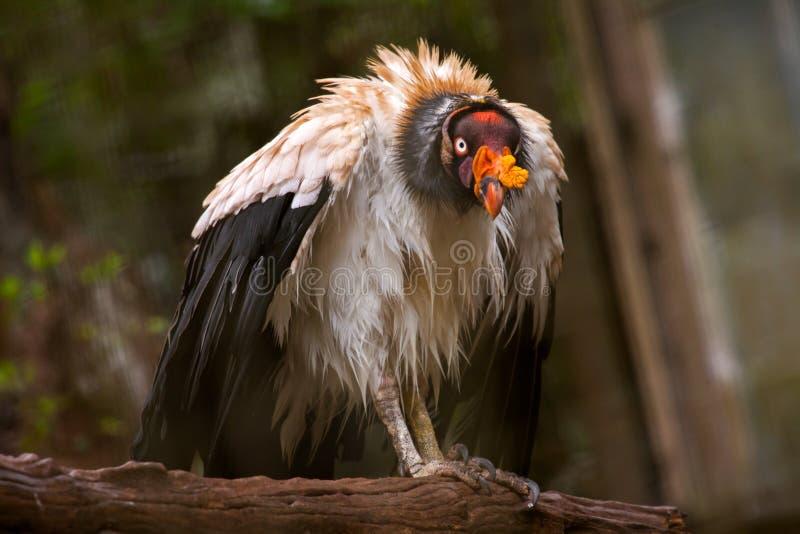 Rey Vulture foto de archivo libre de regalías