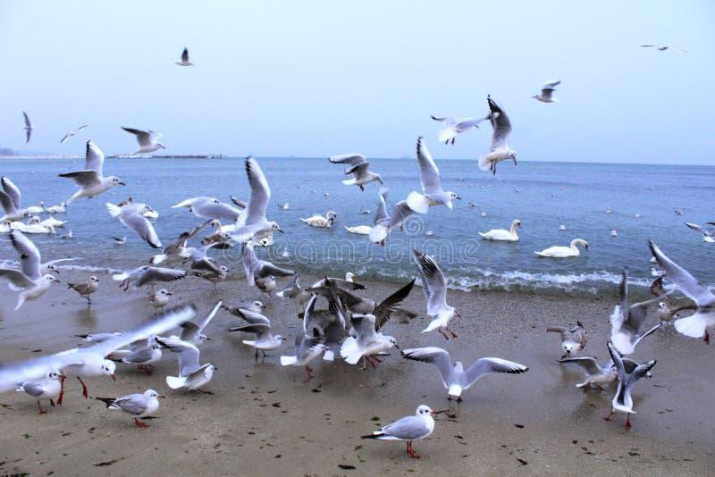 Reyerta de los pájaros de la playa foto de archivo libre de regalías