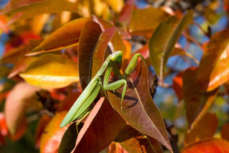 Rezando mantis em folhas vermelhas e amarelas do outono na árvore imagem de stock royalty free