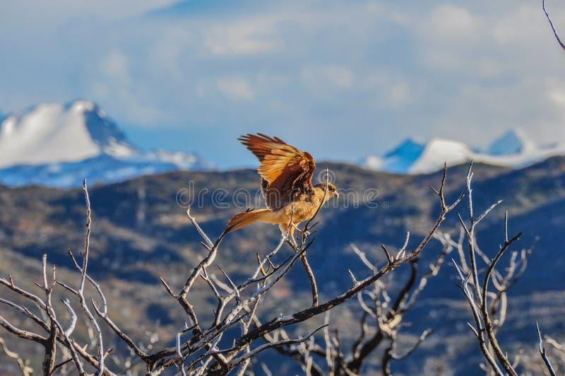 Rezar o pássaro em Parque Nacional Torres del Paine, o Chile imagem de stock royalty free