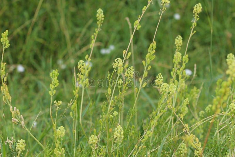 Rezedowy lutea żółty mignonette lub dziki mignonette kwiat, zdjęcia royalty free