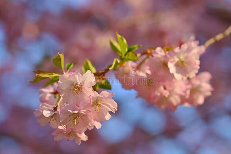 Красивая сцена природы с зацветая деревом и солнцем r just rained Предпосылка сада запачканная конспектом стоковые изображения rf