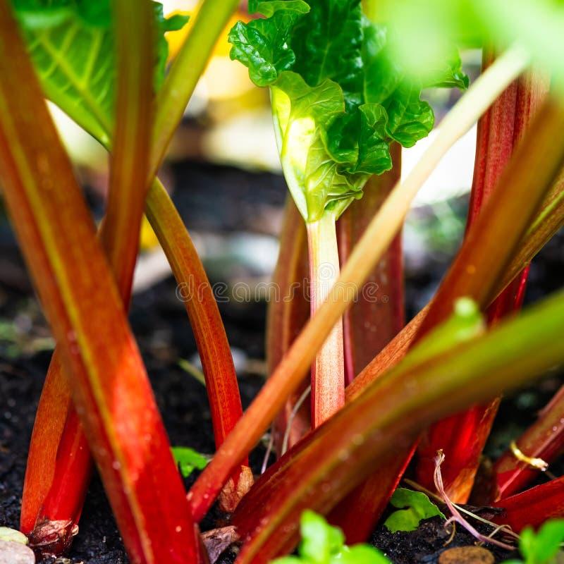 Rhabarber, der im Garten während des Frühlinges wächst stockbild