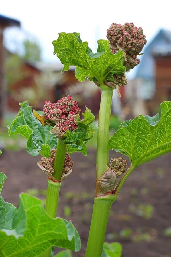 Rhabarber (Rheum) - eine Klasse von Anlagen des Familie Polygonaceae lizenzfreie stockfotografie
