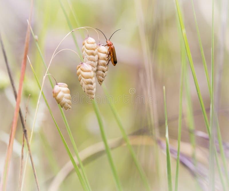 Rhagonycha fulva żołnierza Pospolita Czerwona ściga na trawy Briza rośliny w naturze suchych Trząść maksimumach obraz stock