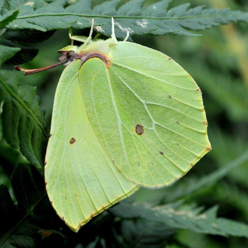 Rhamni de Gonepteryx del azufre fotos de archivo