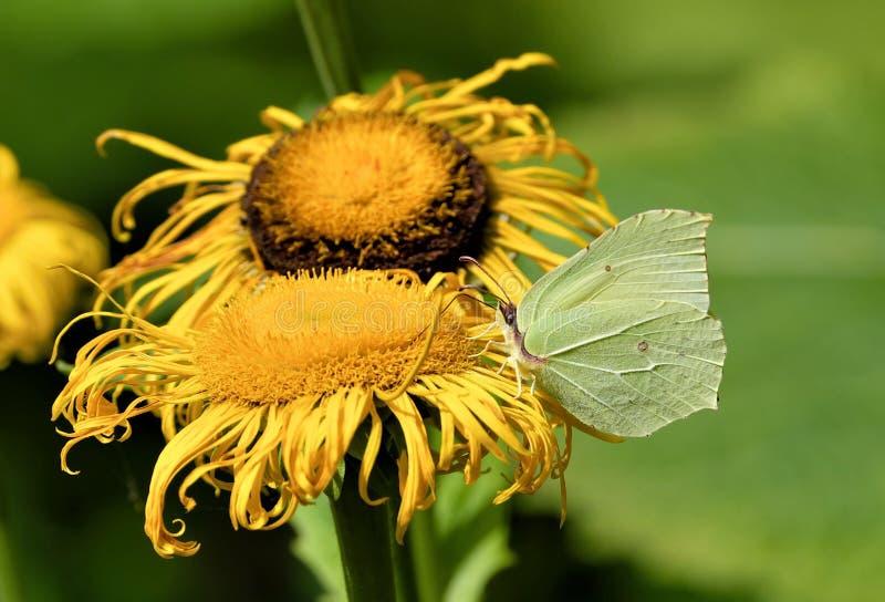 Rhamni de Gonepteryx de papillon de soufre sur la fleur jaune photo libre de droits