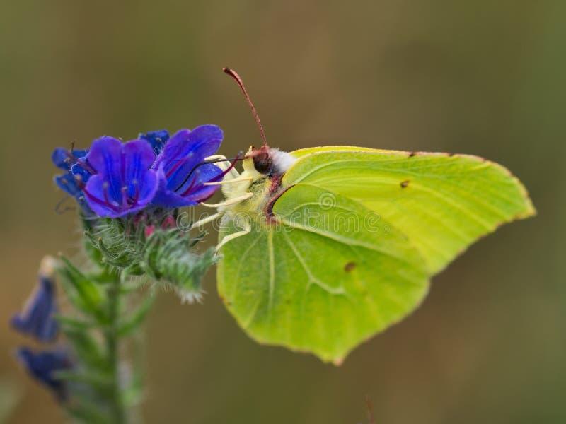 Rhamni di Gonepteryx, farfalla dei limoni fotografia stock libera da diritti