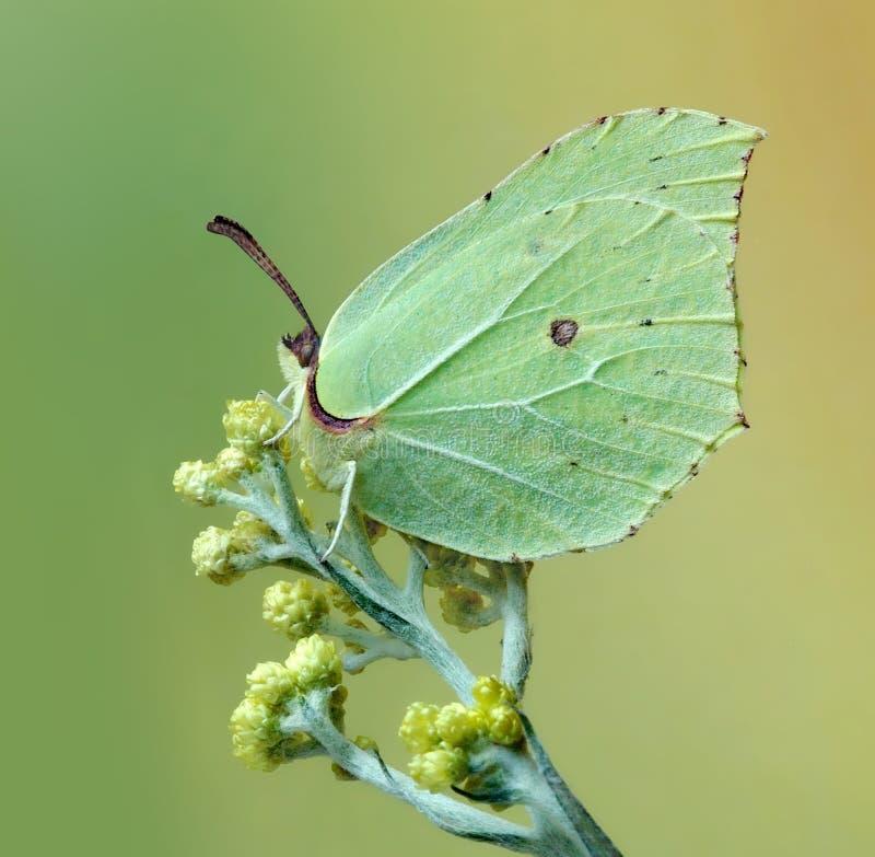 rhamni gonepteryx стоковая фотография