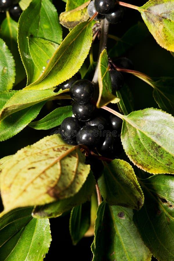 Rhamnus catharticus. Plenty of blue berries bough. Buckthorn, common buckthorn or purging buckthorn - Rhamnus catharticus royalty free stock photos