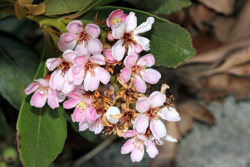 Rhaphiolepis indica, индийский боярышник стоковое фото rf