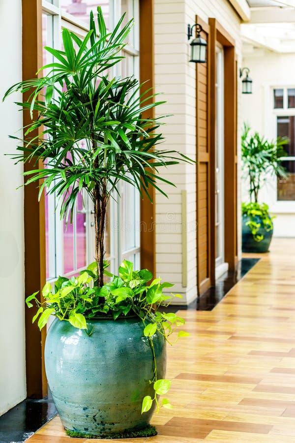 Rhapis de Reed ou palma de senhora ou palmeira do bambu na decoração a do potenciômetro fotos de stock royalty free