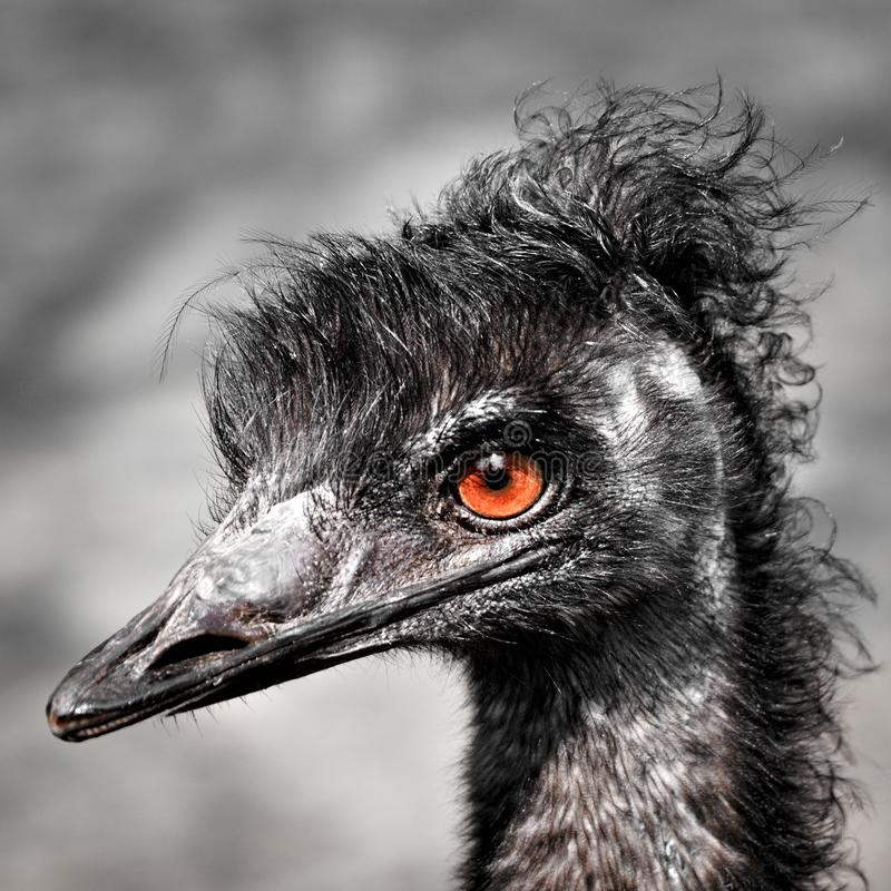 Rhea (bird. Eyes   of a    stare wild fowl  er farm standing park gaze american aves ostrich nature portrait emu wildlife naturally avian funny zoo reserve royalty free stock image