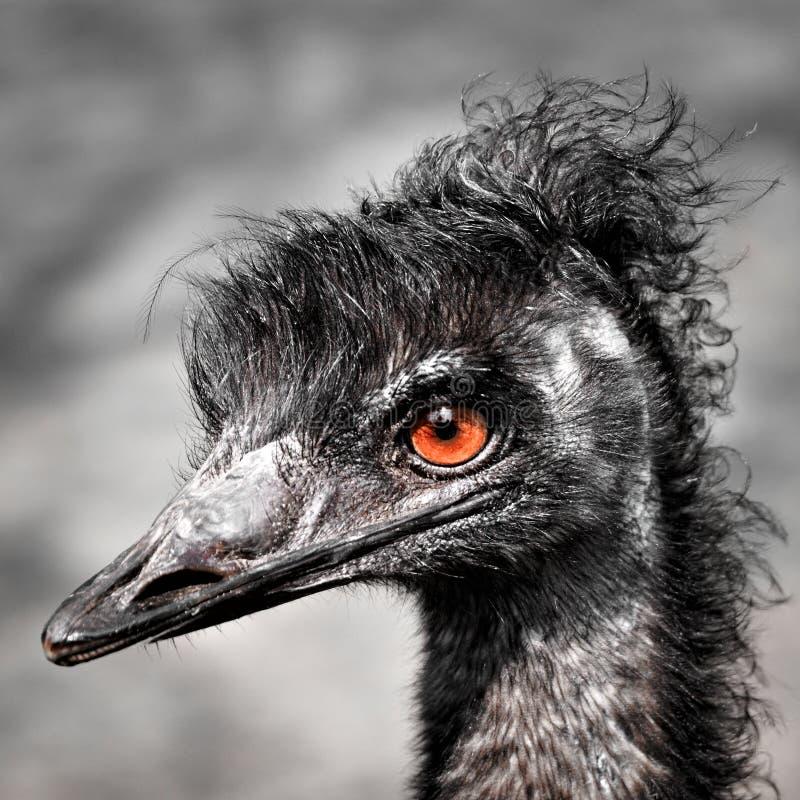 Rhea ( pájaro imagen de archivo libre de regalías