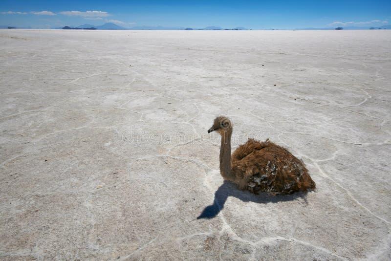 Download Rhea On Salt Flats In Bolivian Andes Stock Photo - Image of wildlife, salar: 13685216