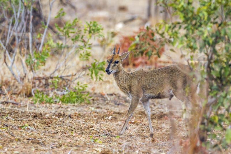 Rhebok gris en el parque nacional de Kruger, Suráfrica imagen de archivo libre de regalías