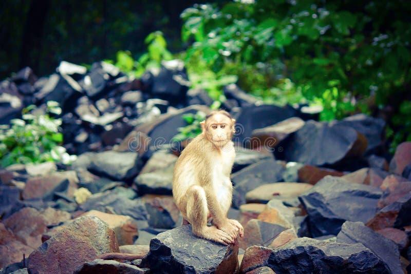 Rhesus małpa fotografia stock
