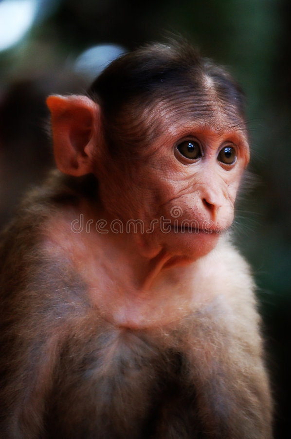Rhesus Macaque. Baby Monkey looking on with a sad face royalty free stock photo