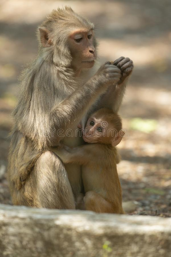 Rhesus Macaque baby feeding on mother at Sattal.Uttarakhand.India. Asia stock photo