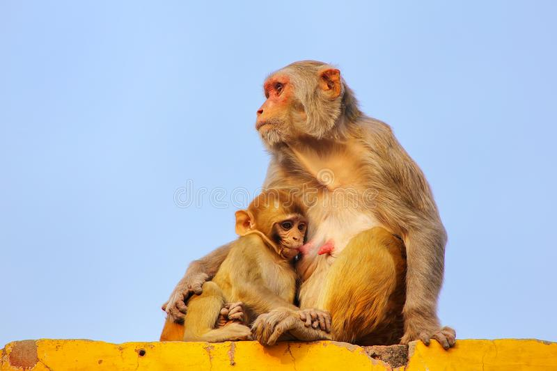 Rhesus macaque with a baby sitting on a wall in Taj Ganj neighborhood of Agra, Uttar Pradesh, India. Agra is one of the most populous cities in Uttar Pradesh stock image