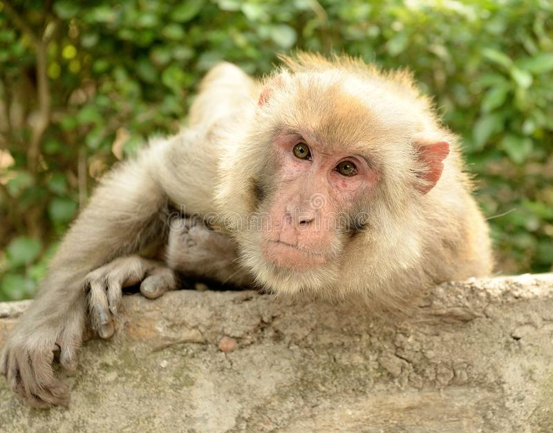 Rhesus Macaque. Closeup of the face of a Rhesus Macaque clinging to a wall in Kathmandu, Nepal stock photos