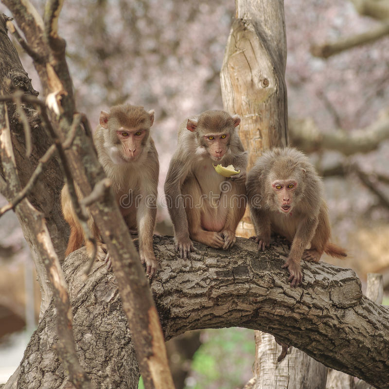 Free Rhesus Macaque In Close-up During Natural Behavior Royalty Free Stock Photos - 40953778