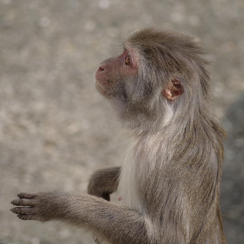 Free Rhesus Macaque In Close-up During Natural Behavior Stock Images - 40953784