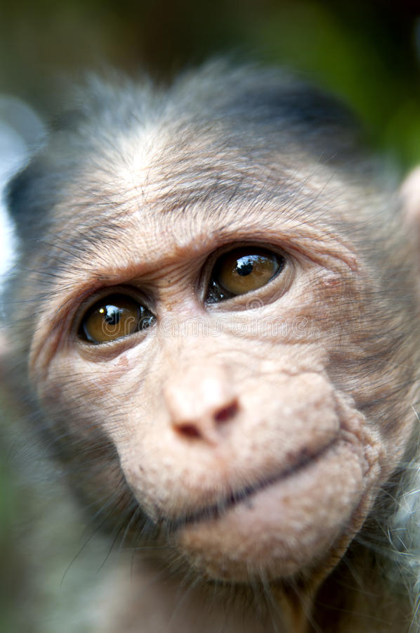 Download Rhesus Macaque - Macaca Mulatta Royalty Free Stock Images - Image: 25216279