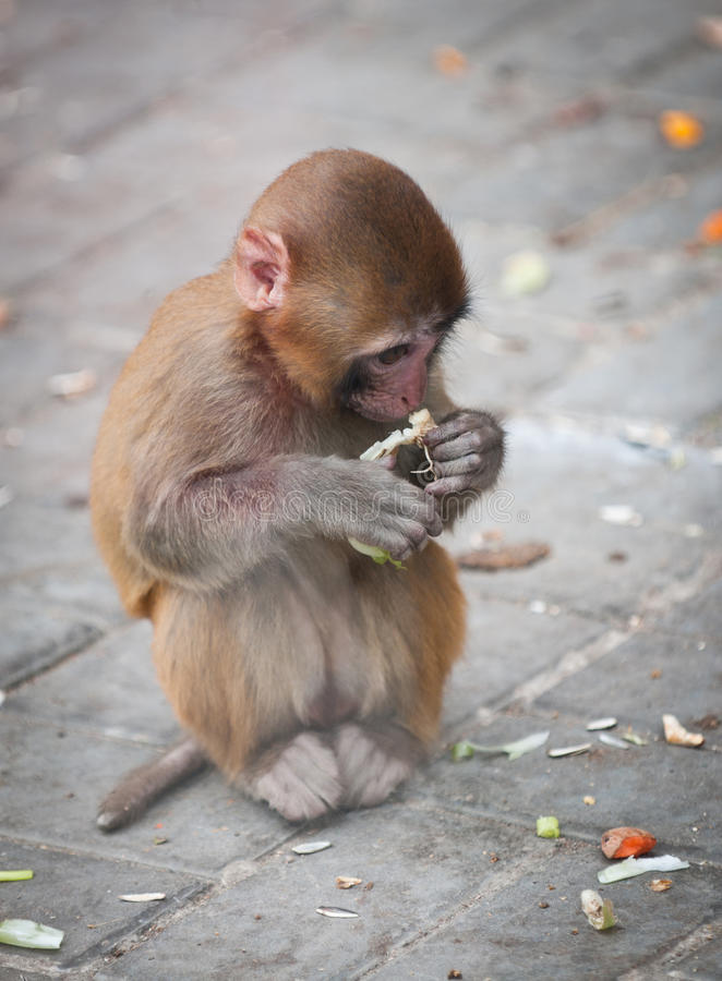 Download Rhesus macaque stock image. Image of eating, young, small - 32490915