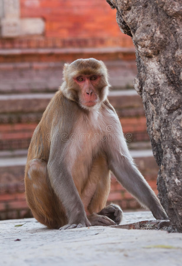 Rhesus macaque monkey. At temple in Pashupatinath, Kathmandu valley, Nepal stock images