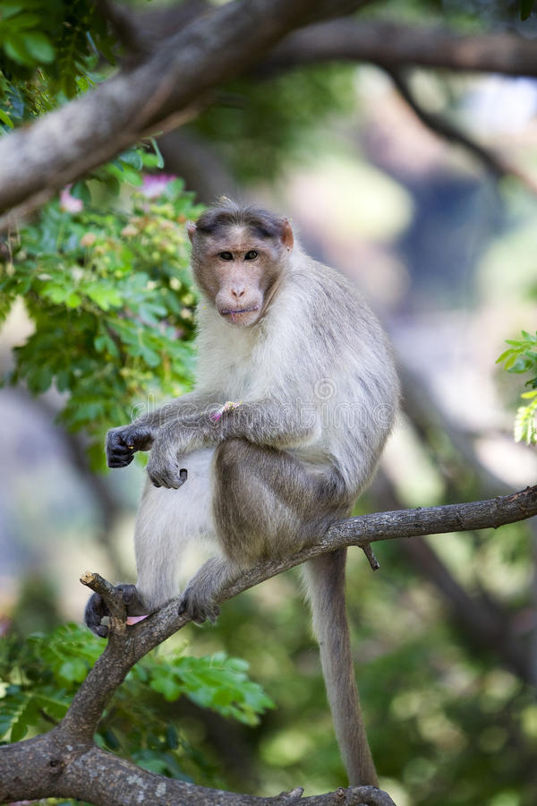 Rhesus macaque monkey. In India looking at camera stock image