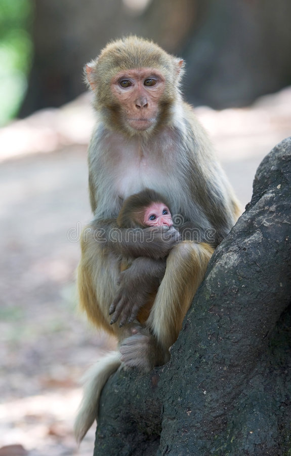 Download Rhesus macaque monkeys stock photo. Image of macaca, embracing - 8108266