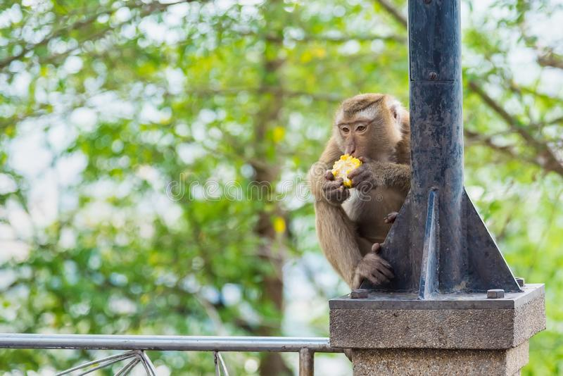 Rhesus Macaque monkeys at Rang Hill lookout point, Phuket, Thailand. Forest fur nature tourism cute wildlife travel primate animal mammal city khao motorbike stock photo