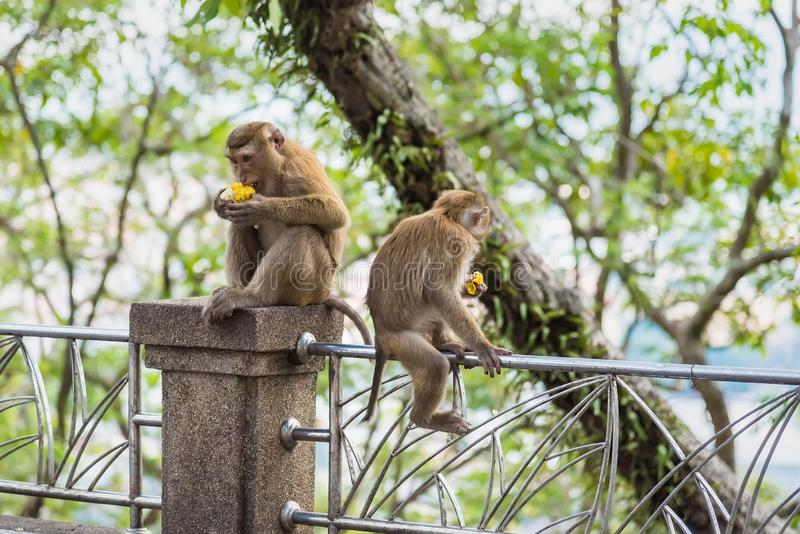 Rhesus Macaque monkeys at Rang Hill lookout point, Phuket, Thailand. Forest fur nature tourism cute wildlife travel primate animal mammal city khao motorbike stock images