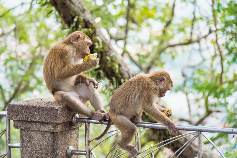 Rhesus Macaque monkeys at Rang Hill lookout point, Phuket, Thailand. Forest fur nature tourism cute wildlife travel primate animal mammal city khao motorbike royalty free stock photography