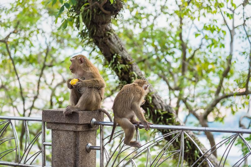 Rhesus Macaque monkeys at Rang Hill lookout point, Phuket, Thailand. Forest fur nature tourism cute wildlife travel primate animal mammal city khao motorbike royalty free stock photos