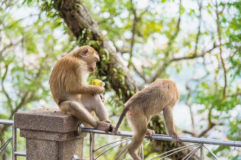 Rhesus Macaque monkeys at Rang Hill lookout point, Phuket, Thailand. Forest fur nature tourism cute wildlife travel primate animal mammal city khao motorbike royalty free stock images