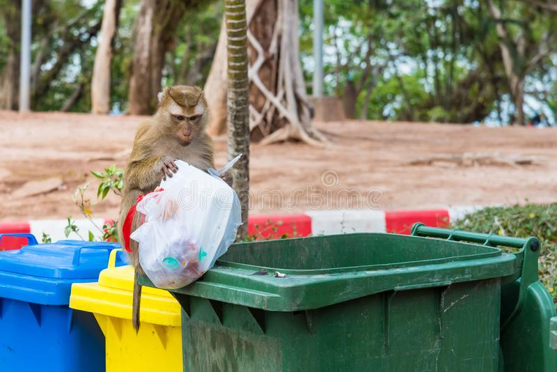 Rhesus Macaque monkeys at Rang Hill lookout point, Phuket, Thailand. Animal asia city cute drink drinking water face family food forest fur group khao life royalty free stock photos