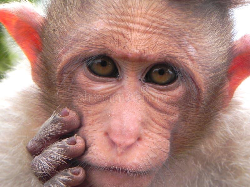 Rhesus Macaque royalty free stock photo
