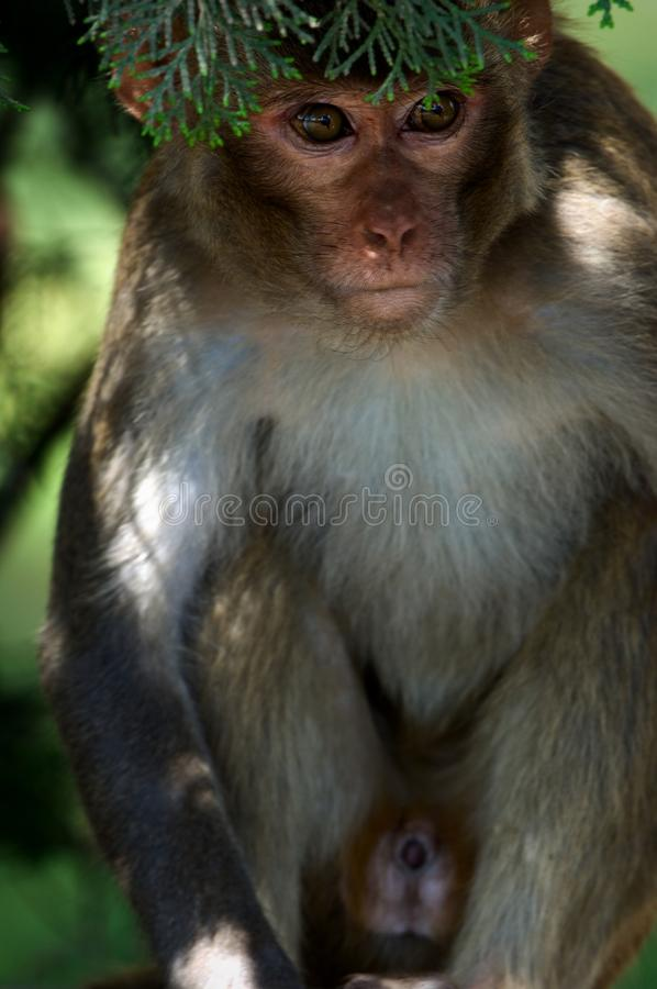 Download Rhesus macaques. stock image. Image of asia, nature, branch - 16466495