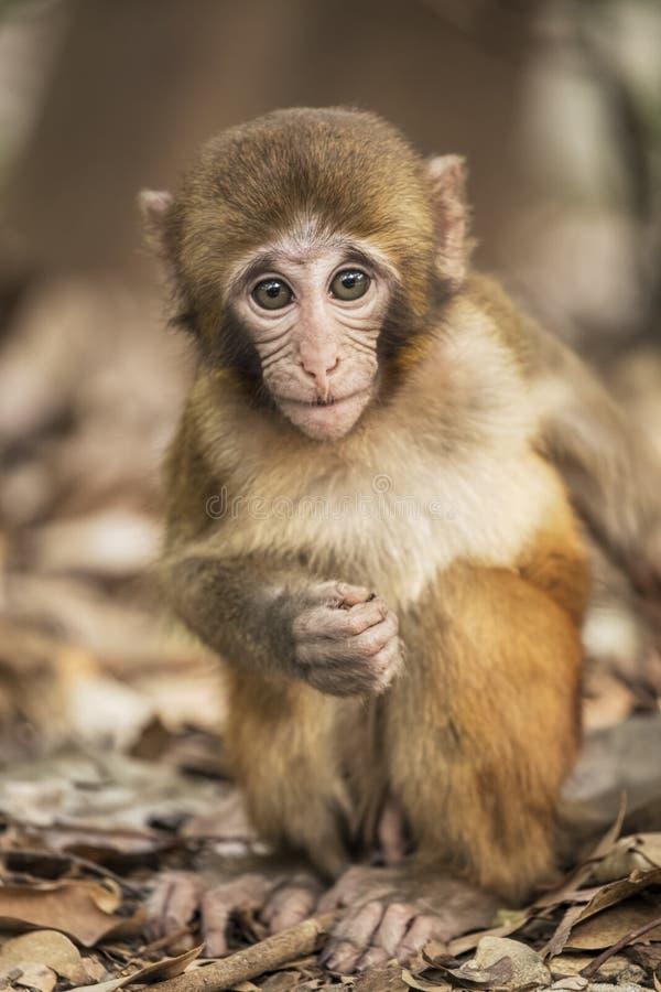 Rhesus makak znani gatunki stary świat małpują fotografia royalty free