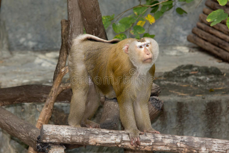 Rhesus makaka gapić się zdjęcia royalty free