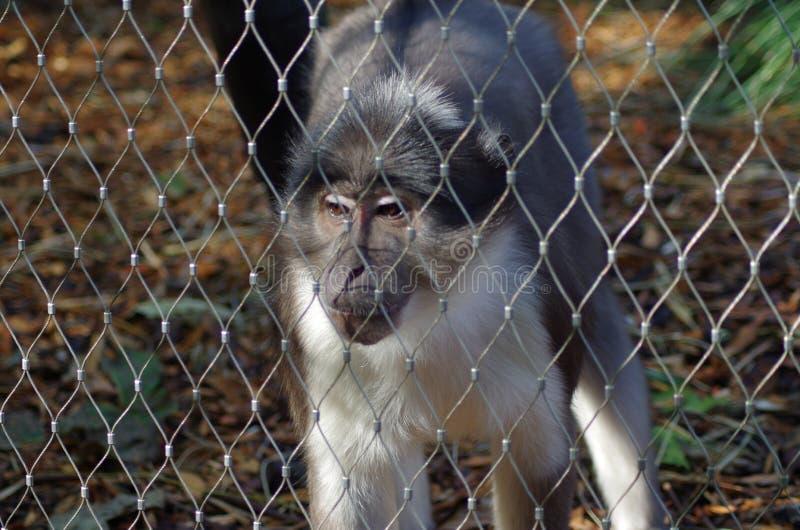 Rhesus makaka gapić się obrazy royalty free