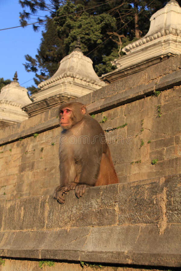 Rhesus Monkey stock image