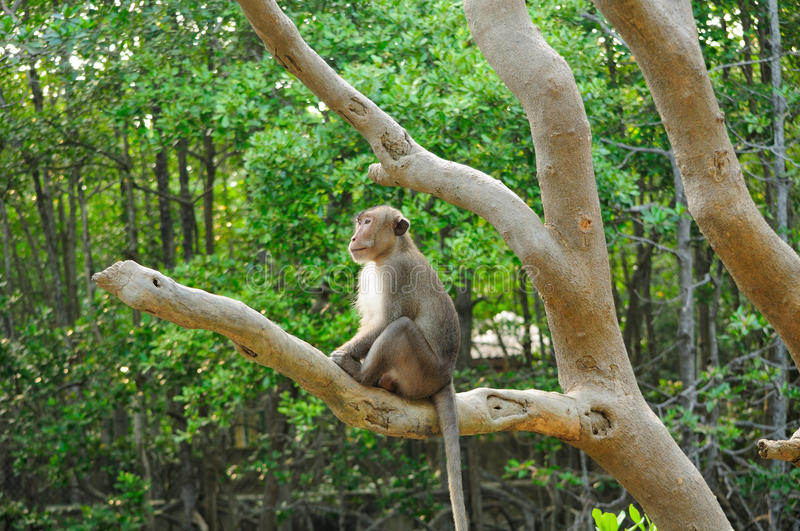 Rhesus Monkey Monkey Island royalty free stock photos