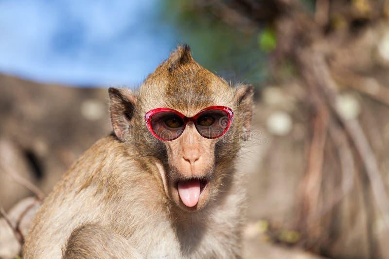 Rhesusaffe mit der Zunge, die heraus haften und Sonnenbrille lizenzfreies stockfoto