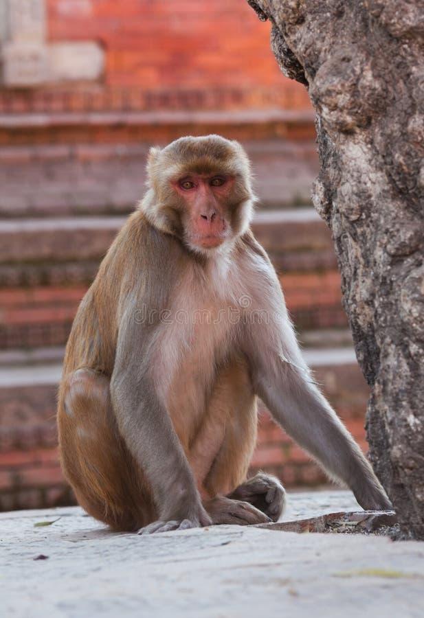 Rhesusfaktor Macaquefallhammer stockbilder