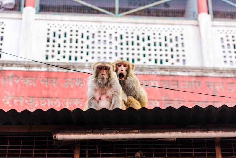 Rhesusfaktor-Makaken (Macaca mulatta) (Rishikesh, Indien) stockbild